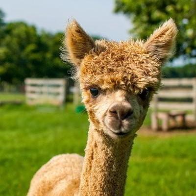 Alpacahoeve Sassenheim - uitjes in de bollenstreek